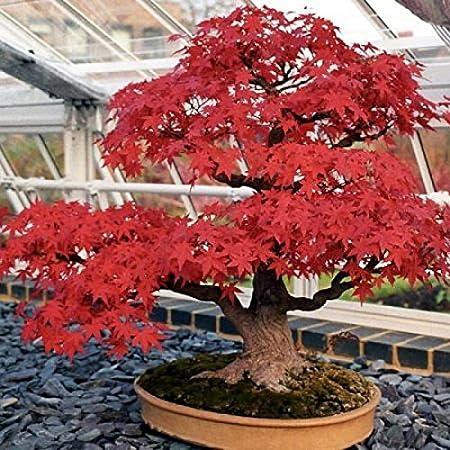 Amazon Com Japanese Red Maple Acer Palmatum Bonsai Tree Seeds
