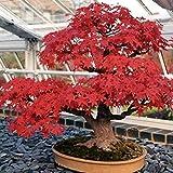 Japanese Red Maple Acer Palmatum Bonsai Tree Seeds Heirloom 10 Seeds