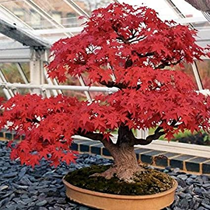 Amazoncom Japanese Red Maple Acer Palmatum Bonsai Tree Seeds