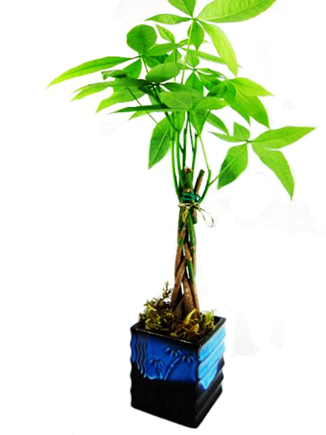9GreenBox - 5 Money Tree Plants ided Into 1 Tree - 4