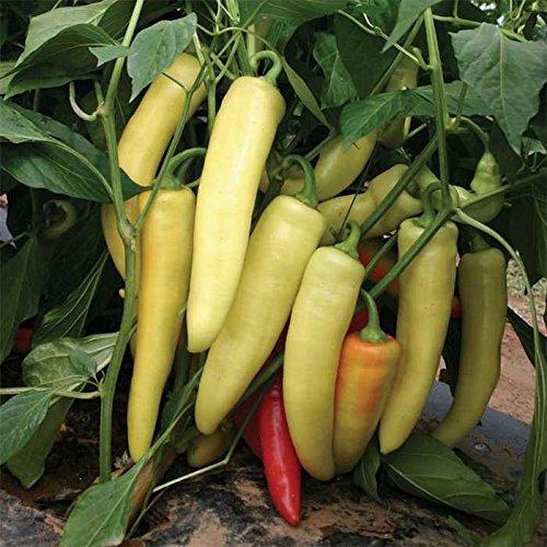 500 Seeds of Boris Hybrid Pepper - Capsicum Annuum