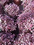 Purple Pixie Loropetalum (Loropetalum chinense)