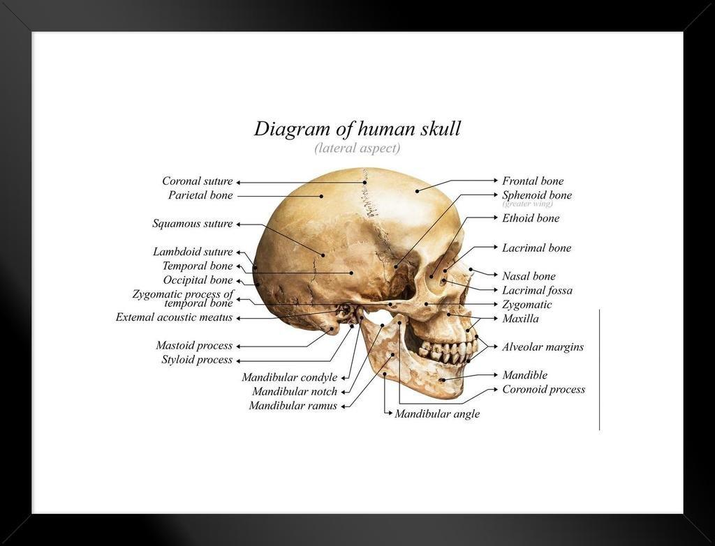 Amazon.com: Human Skull Diagram Anatomy Educational Chart Poster ...