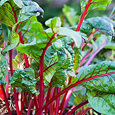 Rhubarb Swiss Chard Garden Seeds - Rhubarb - Non-GMO, Heirloom Vegetable Gardening Seeds