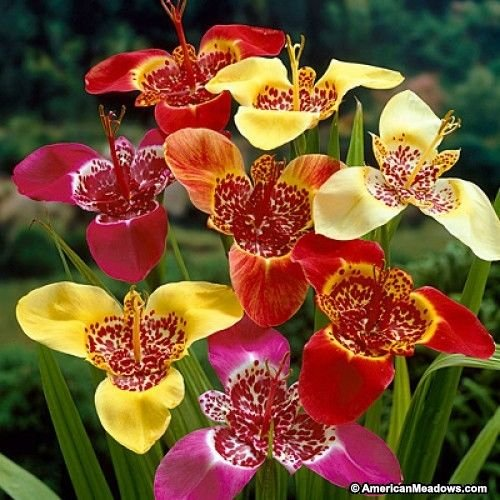 10 Bulbs -Tigridia Speciosa – Mix ,Mexican Shell Flower,tiger flower,tiger iris.
