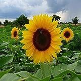 100 Bright Sunflower Dwarf Sunspot Seeds Heirloom Short Bedding Yellow Flower Bee Bird