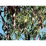 Pekannuss Carya illinoinensis Pflanze 30cm Hickory Pecannussbaum sehr selten