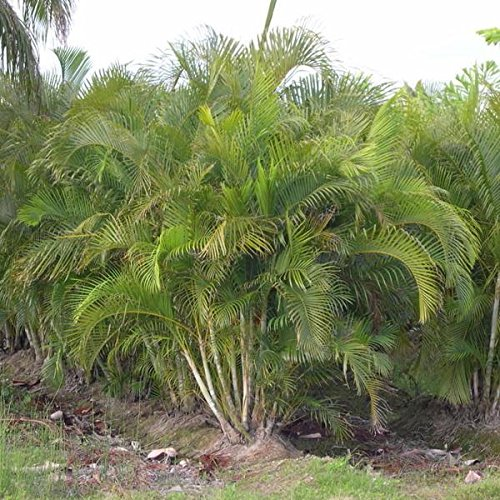 (Areca Palm Seeds (Dypsis lutescens) 10+ Tropical Palm Tree Seeds)