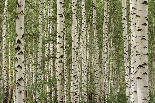 13.5-Feet wide by 9-Feet high. Prepasted wallpaper best quality mural from a high resolution photo of: Birch Tree Forest. Easy to hang remove and reuse (hang again) If U do as in our video.