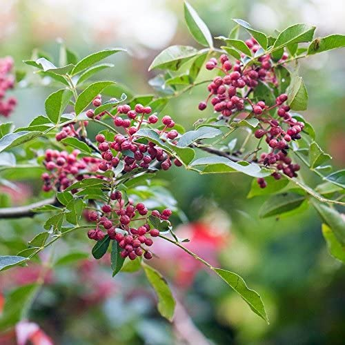 ZANTHOXYLUM SIMULANS NEW SEEDS ADDED TO YOUR COLLECTION 10 SEEDS PER PACK