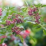 Zanthoxylum simulans Szechuan Pepper Seeds