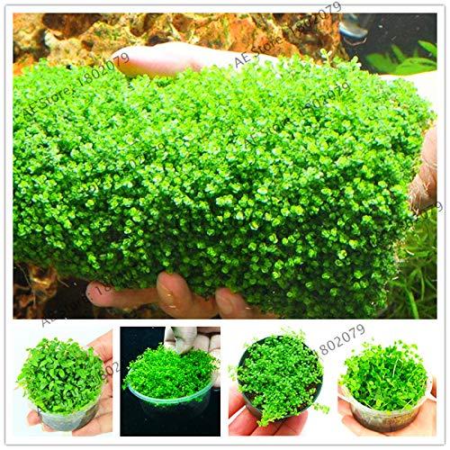 (Alfalfa Grass Seed Dichondra Seed Grass 100Pcs/bag Mini Dwarf Pearl Plants Aquarium Grass Seed Fish Tank Decoration Ornamental Aquatic Plants Bonsai )