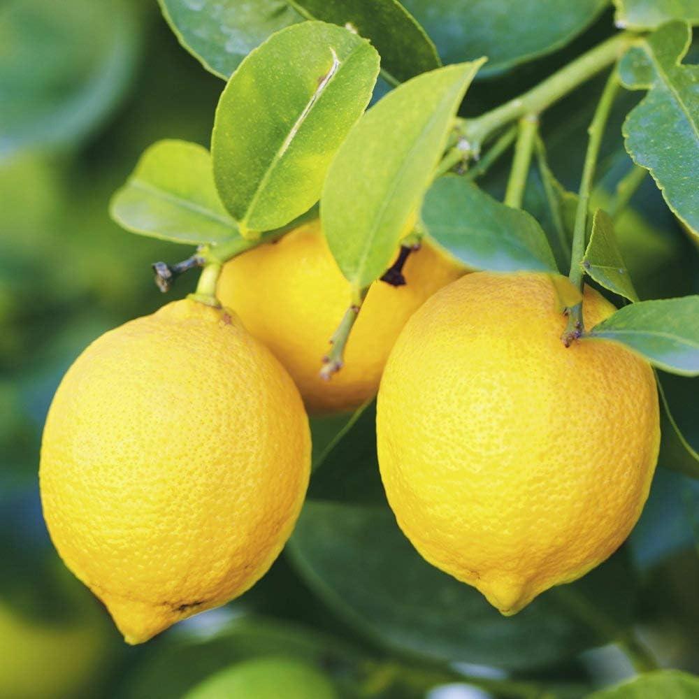 Dwarf Eureka Lemon Citrus Tree, Patio Palnt 5 Seeds