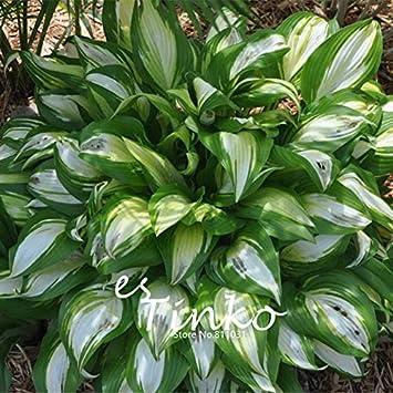 30pcs Hosta plantaginea Samen Fragrant Funkie Beliebte Blume ...