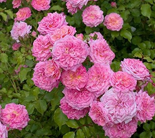 Sweet Drift Groundcover Rose - Live Plant - Full Gallon Pot by New Life Nursery & Garden