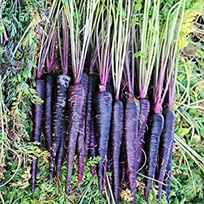 Purple Carrot Seeds 200+ Seeds Half Long Scarlet Nantes Tender Sweet Rainbow Carrot Mix Survival Garden Vegetable Organic Chinese Fresh Seeds for Planting Outdoor for Cooking Pickles Salad
