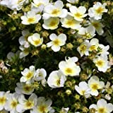 1 X POTENTILLA 'LIMELIGHT' DECIDUOUS SHRUB HARDY GARDEN PLANT IN POT
