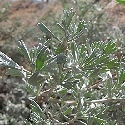 Big Sagebrush Seeds; Desert Sage (Artemisia tridentata) 100+ Medicinal Herb  Seeds in FROZEN SEED CAPSULES for the Gardener \u0026 Rare Seeds Collector ,