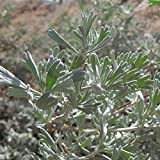 Big Sagebrush Seeds; Desert Sage (Artemisia tridentata) 100+ Medicinal Herb Seeds in FROZEN SEED CAPSULES for the Gardener & Rare Seeds Collector - Plant Seeds Now or Save Seeds for Years