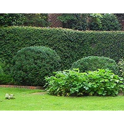 AchmadAnam - Live Plants - American Boxwood - Shipped 1 Foot Tall : Garden & Outdoor