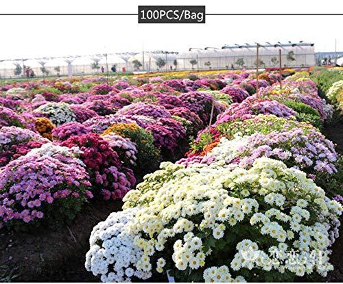 Astonish I Semi Confezione Semi 100Pcs Multicolore Terra-Cover crisantemo Semi perenne Fiore della Margherita 6