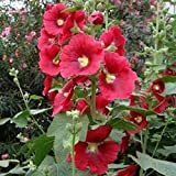 LovelyGarden ALCEA ROSEA 'Mars Magic' - Hollyhock - Starter Plant