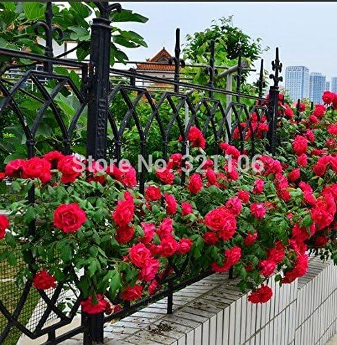 100 rojas rosales trepadores Semillas, de la herencia, magnífico, jardín de flores de bricolaje en casa, el patio olla: Amazon.es: Jardín