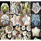 Big Pack - (40) Astrophytum Hybrids Cactus Succulent Seeds - Sand Dollar Cactus, Sea Urchin Cactus - Gorgeous Patterns…