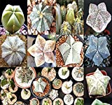 BIG PACK - (40) Astrophytum Hybrids Cactus Succulent Seeds - Sand Dollar Cactus, Sea Urchin Cactus - Gorgeous Patterns and Markings - FRESH CACTUS SEEDS - By MySeeds.Co (Astro. Hybrid - BIG PACK)