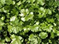 Herb Seeds - 60 Seeds (1 g) of Coriander Leisure Cilantro Seeds - Microgreens or Planting
