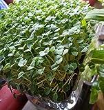 Chia Salvia hispanica 1000 seeds