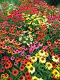 "Echinacea Cheyenne Spirit - Coneflower - Daisy - 4"" Potted - Perennial - 3 Plants by Growers Solution"