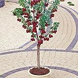 Dwarf Cherry Tree (Prunus avium) Self-Fertile Fruit Tree 10 Seeds indoor/outdoor
