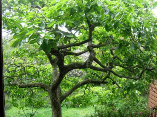 2 American Persimmon Trees, Great Fruit by almostdonenow (Image #2)