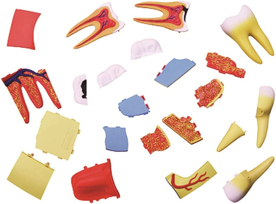 BOHS Triple Root Molar Anatomy Kit Science STEM Toys