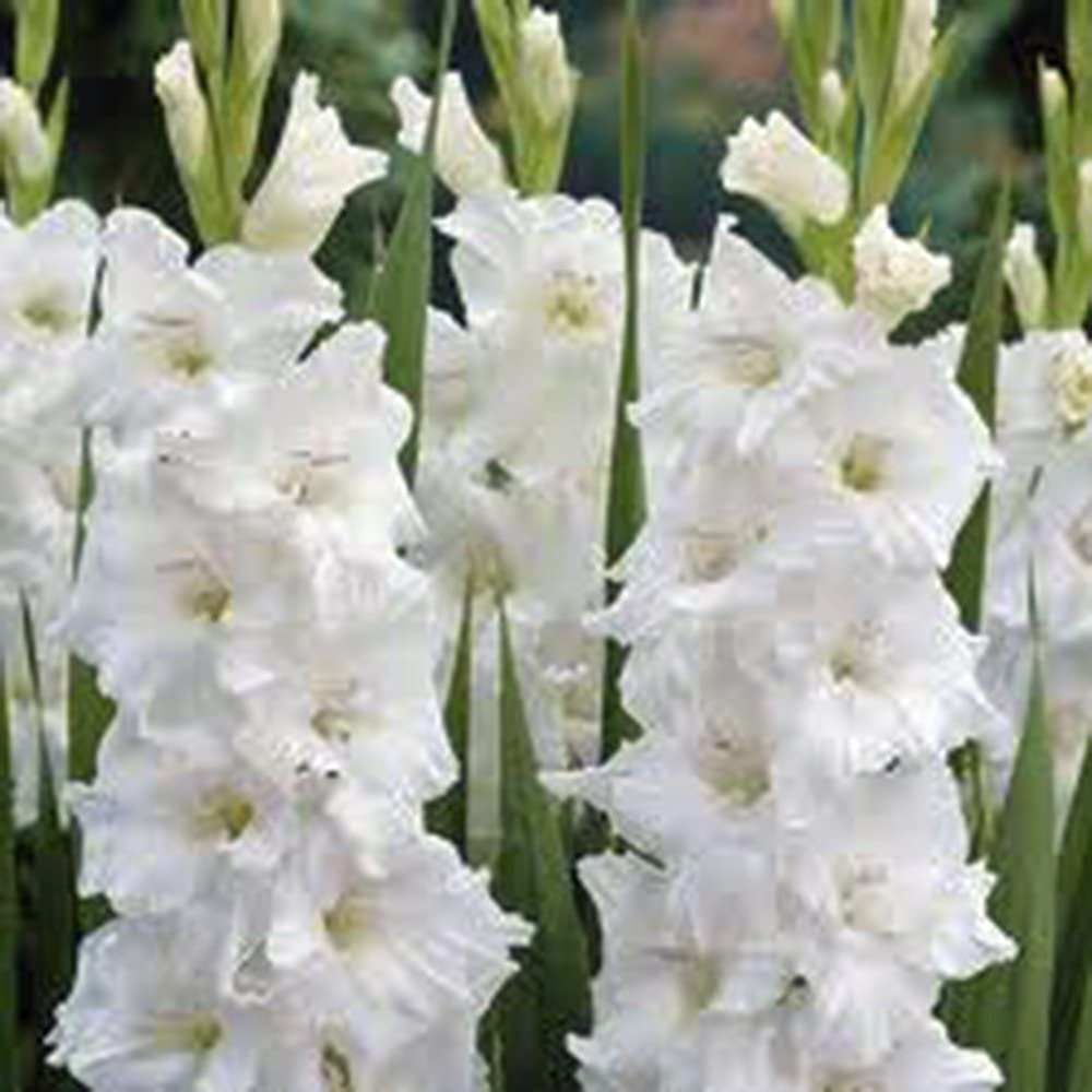 Amazon Com Gladiolus Bulb 10 Pack White Clouds Snow White