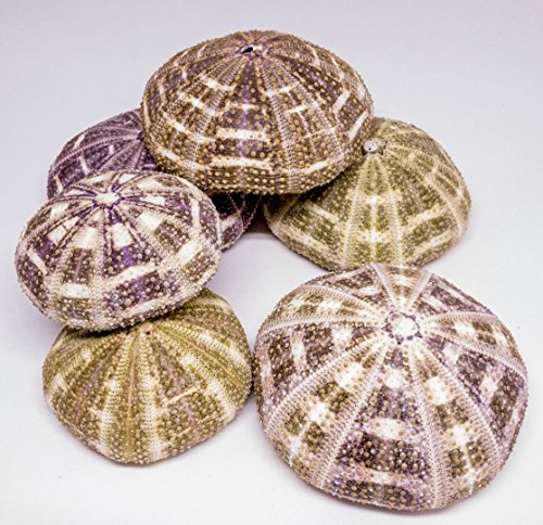 Alfonso Sea Urchins | 6 Large Alphonse Urchin Shells 2 1/2