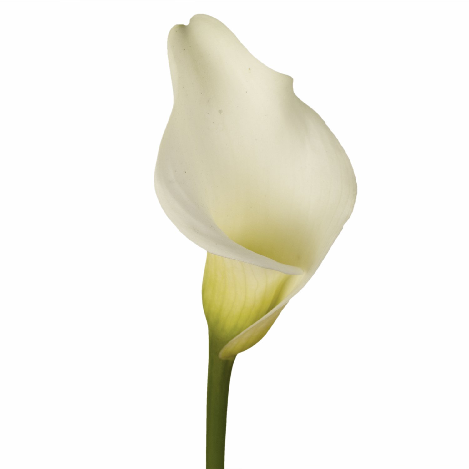 GlobalRose 12 Stems of White Calla Lilies - Fresh Flowers for Delivery by GlobalRose