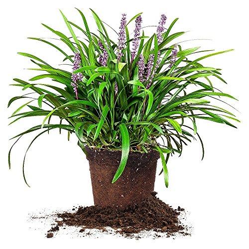 royal-purple-liriope-size-1-quart-live-plant-includes-special-blend-fertilizer-planting-guide