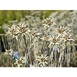 Garten-Edelweiß Großglockner, Leontopodium alpinum - im Topf 12 cm in Gärtnerqualität von Blumen Eber