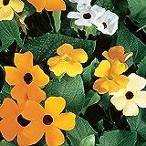 Burpee Alata Mix Thunbergia Seeds 40 seeds