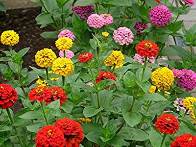 250 California Giant Mix Zinnia Seeds Zinnia Elegans by RDR Seeds