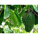 Stachelannone Annona muricata Graviola Pflanze 10cm Sauersack Rarität Früchte