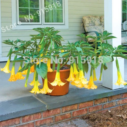 ! LOSS PROMOTION SALE! Bonsai Tree seeds 30pcs DWARF Brugmansia Angel Summer Dream angels Trumpets!