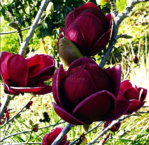 30pcs Bag Rare Genie Dark red appealed Magnolia Tree Flower Seeds no Shipping -