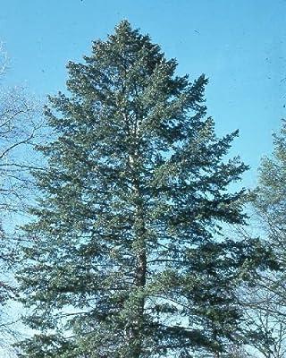 50 Blue Douglas Fir Tree Seeds, Pseudotsuga Menzi Glauca