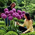 50pcs Giant Allium Giganteum Onion Flower Seeds, Vibrant Purple Spring Flower for Garden Backyard Plant Decor