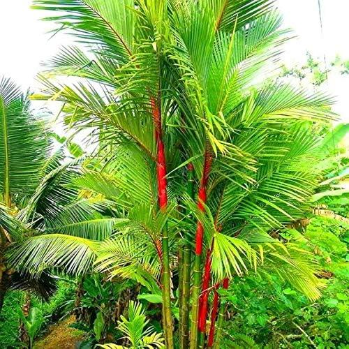 Pack Color/é Graines De Palmier Graines De Bambou Bonsa/ï Maison Jardin Graines darbre-Couleur DaDago 100Pcs