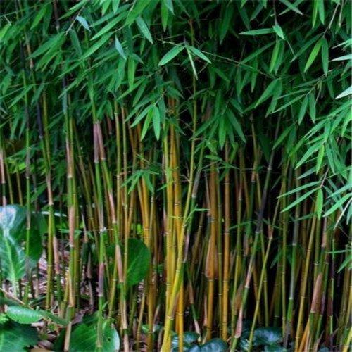 Sale!Novel Plants 100pcs Bamboo Seeds Bonsai Seeds Tree Seeds Free shipping