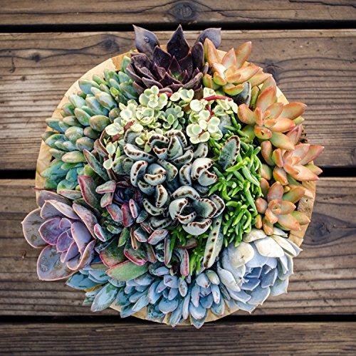 Altman Plants Assorted Live Tray mini succulents bulk for planters, 2.5'', 32 Pack by Altman Plants (Image #7)